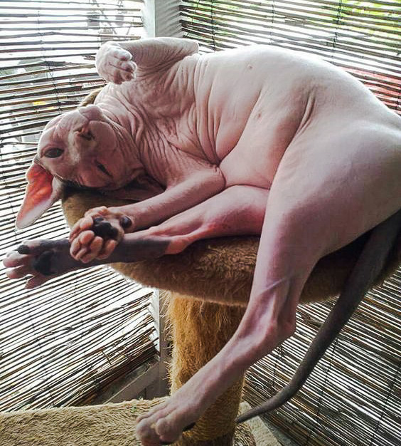 Another ugly Sphynx cat looking like a naked fat human lounging around idly