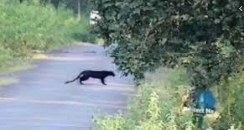 Black panther in Puglia Italy