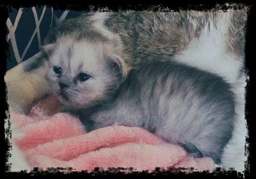 Picture of a cloned jungle cat