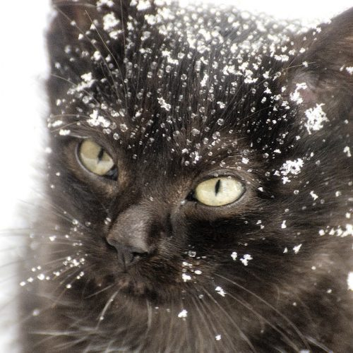 Domestic cat in the cold