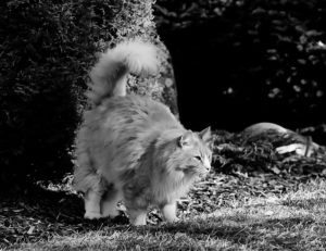 Domestic cat scent marking by urine spraying