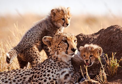 Female cheetah and cubs