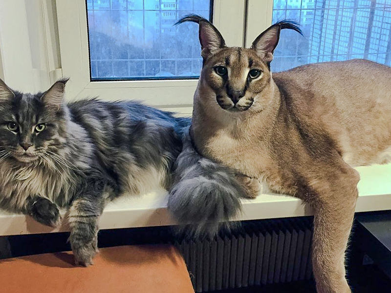 Gregory the tame caracal pet cat aka Big Floppa with his domestic cat friend probably a Maine Coon