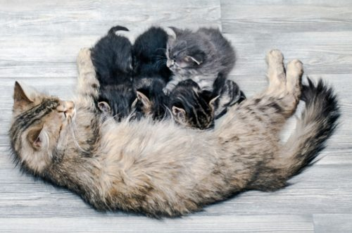 Kittens drinking their mother's colostrum