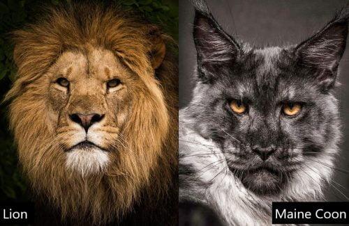 Lion versus Maine Coon