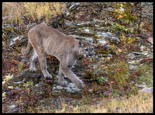 Mountain lion travelling