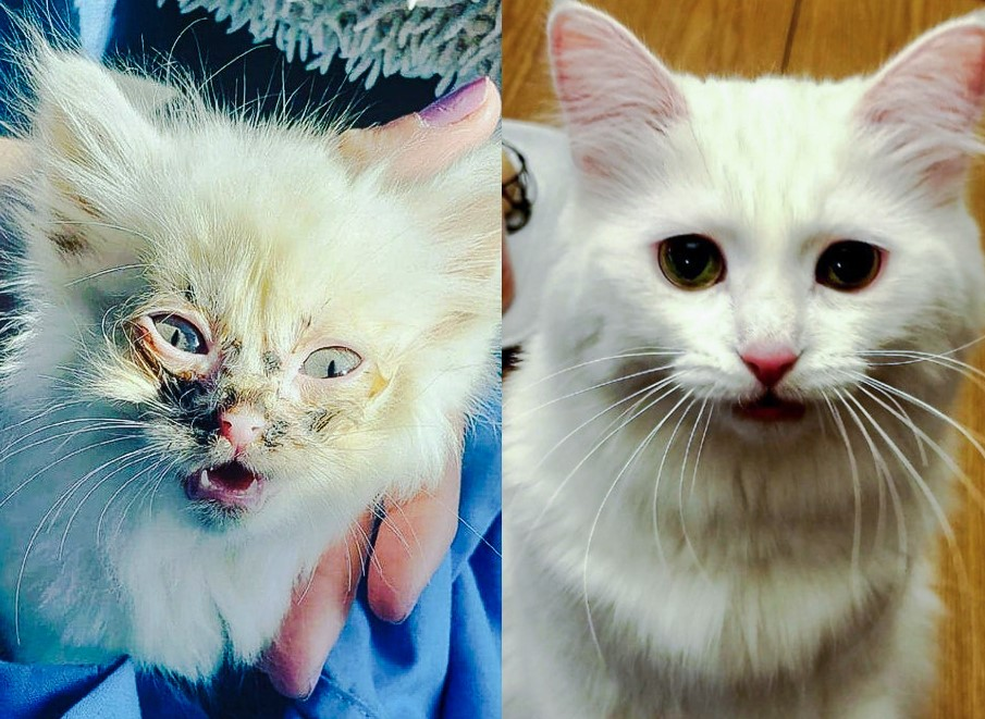 Nimbus a rescue cat before and after