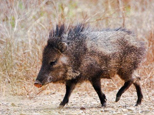 Peccary (javelina or skunk pig) is a favorite prey of the jaguar