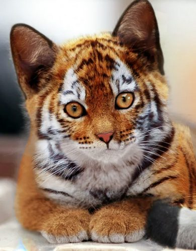 Photo-edited image of a domestic cat and a tiger cub merged together