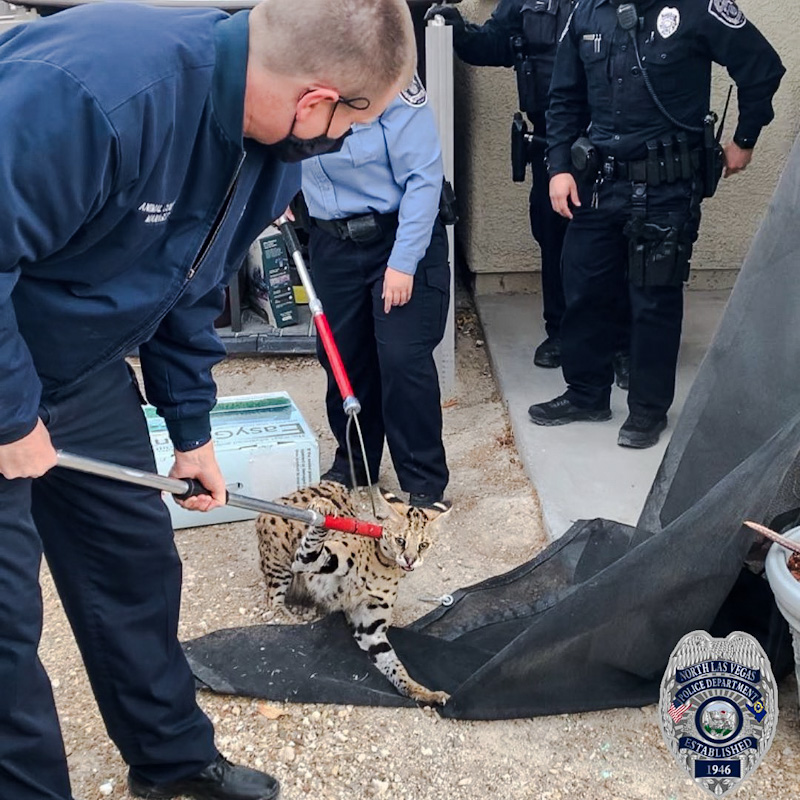 Serval restrained by Animal Protection Services in Las Vegas