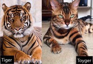 Tiger versus Toyger