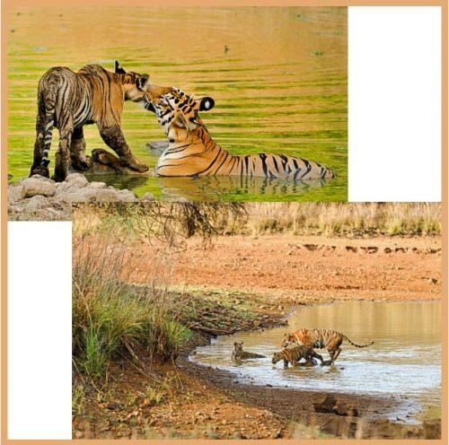 Tigress and young