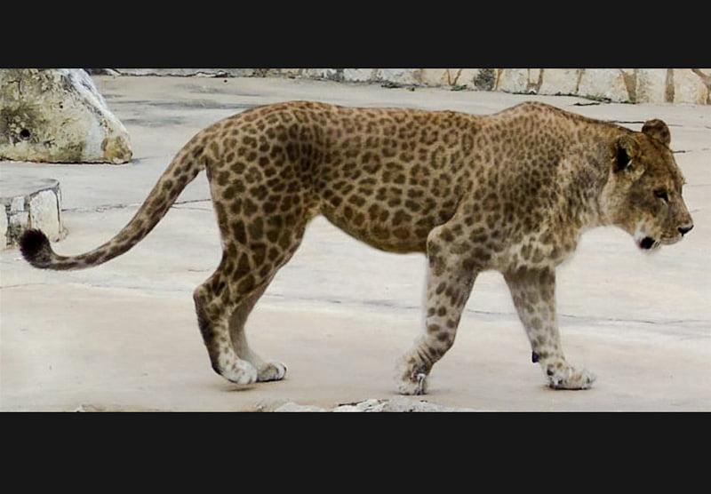 Tribrid leopard lion tiger allegedly