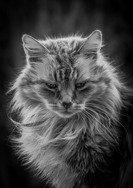 Excellent black-and-white photograph of a pretty longhaired domestic cat