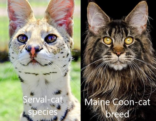 Are domestic cats a breed of cat