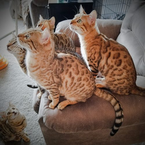 Available Bengal cats at DOUBLE GRR BENGALS