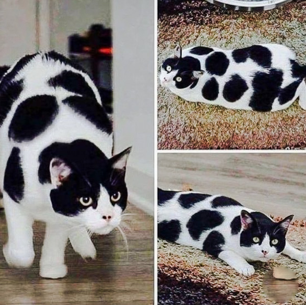 Black-and-white cat with remarkable large spotted coat