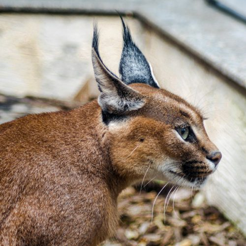 Black-backed ears of the caracal are the origin of its English name