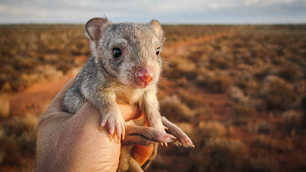 Burrowing bettong a native Australian animal preyed upon by feral cats