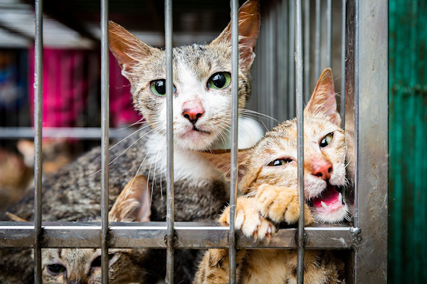Cat and Dog Meat Trade Investigation Hanoi