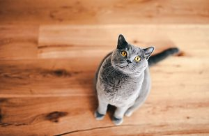Cat requesting and waiting for food