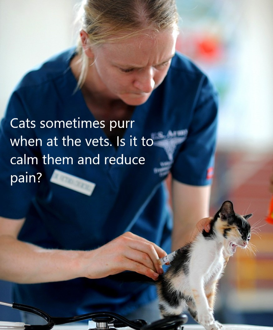 Cats purr at the vets sometimes. Is it to calm them and reduce pain?