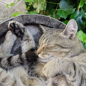 Domestic cat snoozing and sleeping