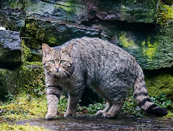 European wildcat meows