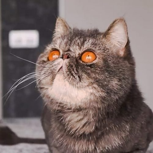 Tabby Exotic Shorthair with brilliant copper eyes