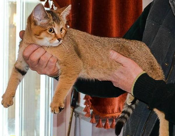 F1 sand cat hybrid
