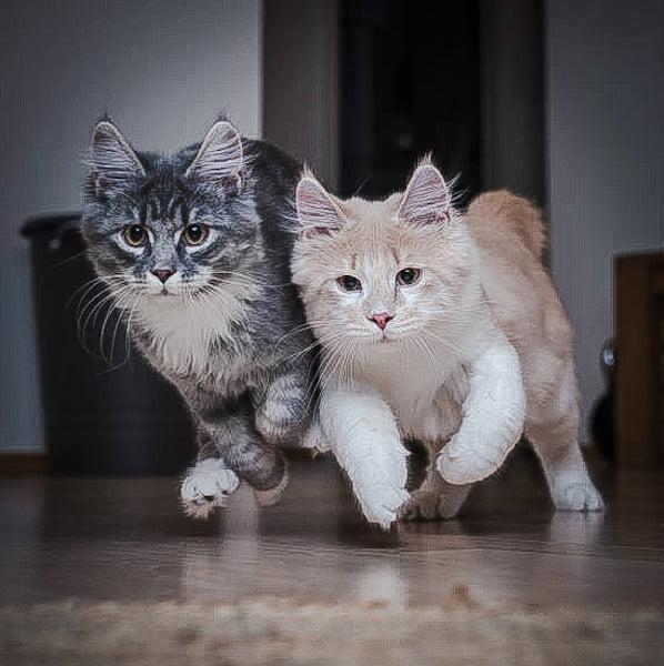 Feline zoomies