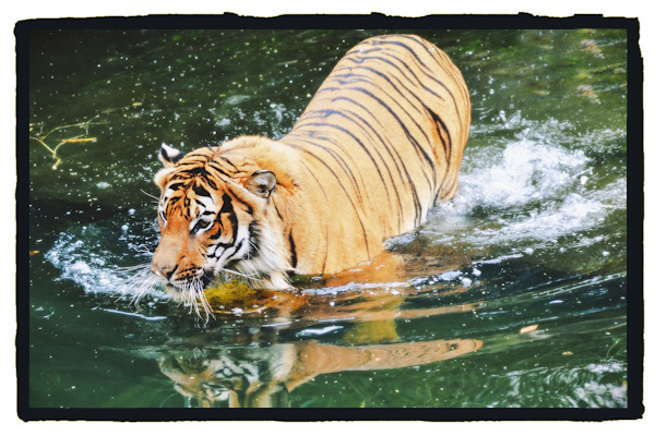 How tigers eat their prey animals