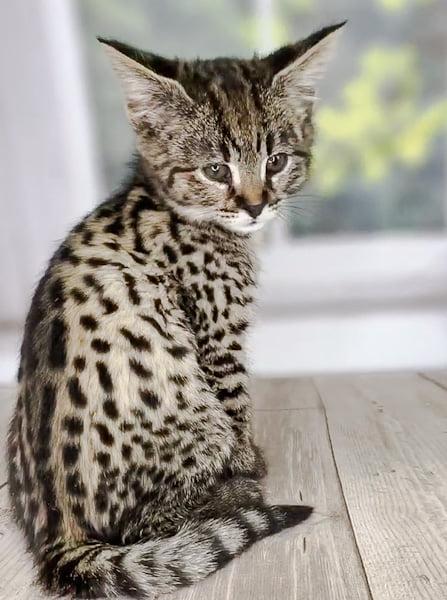 Magical F1 Savannah kitten