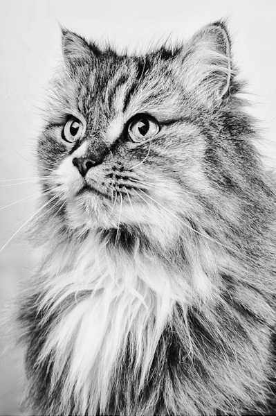 Photo of Maine Coon cat described as Persian but looking like neither
