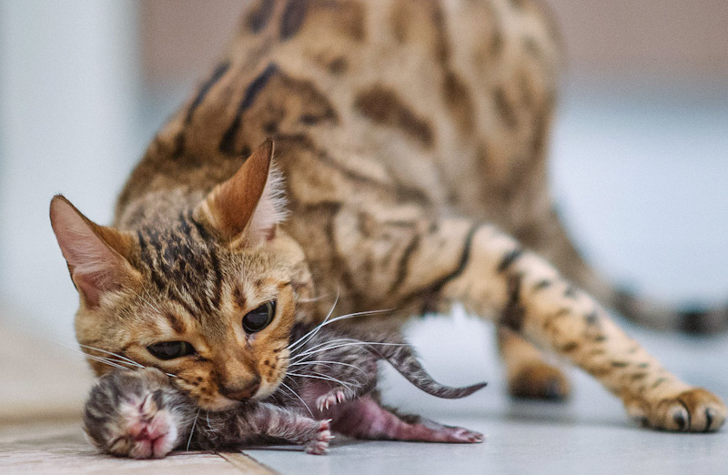 Mother cat grabs her newborn kitten by the scruff of the neck