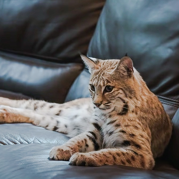Pet bobcat who likes to use a human toilet to poop and pee