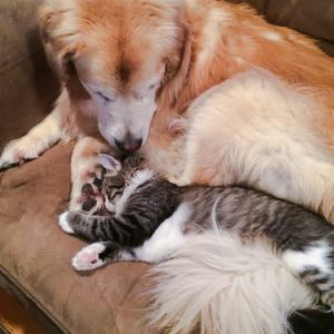 Picture of young cat with large elderly dog whose separation anxiety was cured by this cute and confident cat