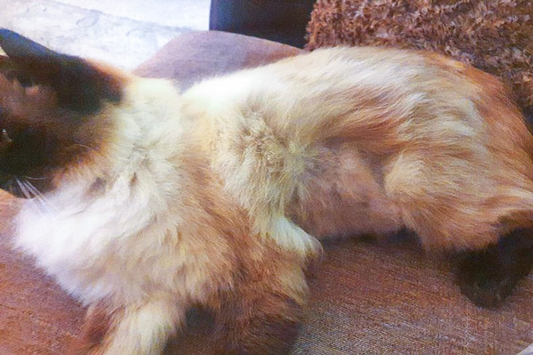 Ragdoll shaved to check if she is spayed