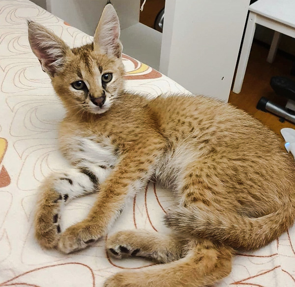 Serval crossed with a caracal