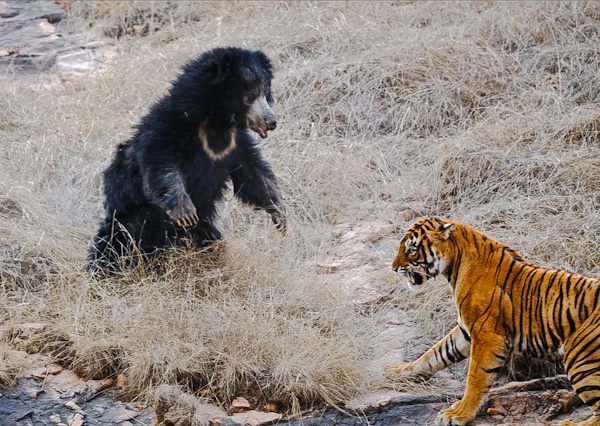 Sloth bear with 2 cubs on her back defeats 2 Bengal tigers in chance encounter