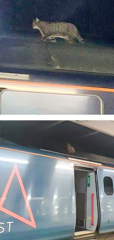 Tabby cat on top of a Euston train preventing it leaving