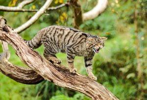 The wildcat meows