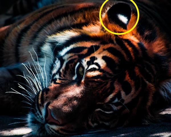 Tiger ocelli