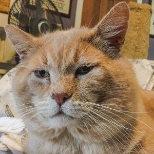 Unsterilised or late sterilised male cat