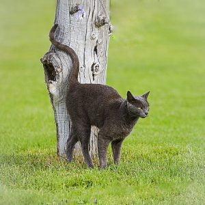 Cat scent marking by spraying urine horizontally