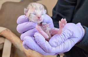 Baby sand cat