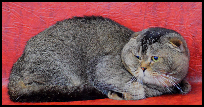 Big, solid male Scottish Fold with tiny ears made in Russia