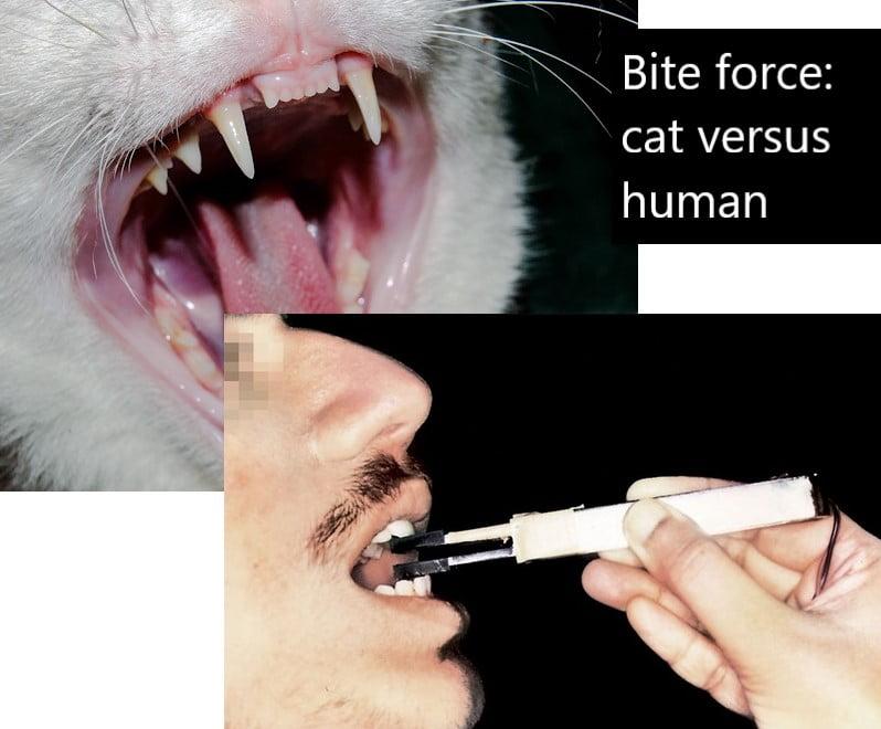 Bite force humans versus domestic cats