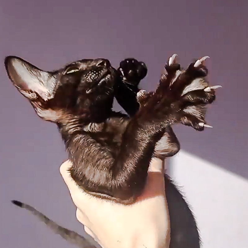 Black Oriental Shorthair bred in Russia wants to get down as his breeder holds him for a video