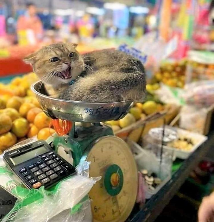Bodega cat objecting to being moved from the vegetable scales